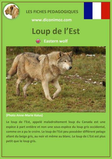 fiche animaux pdf pedgogique loup de l'est a telecharger et a imprimer