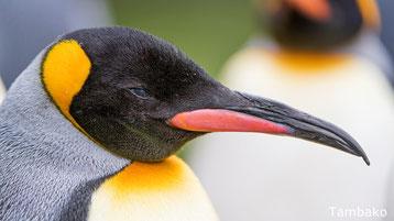 ne confondez plus le manchot et le pingouin differences