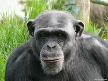 cri animaux chimpanze