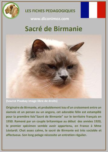 fiche chat race sacre de birmanie comportement origine caractere poil sante