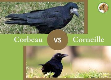 ne confondez plus le corbeau freux et la corneille noire