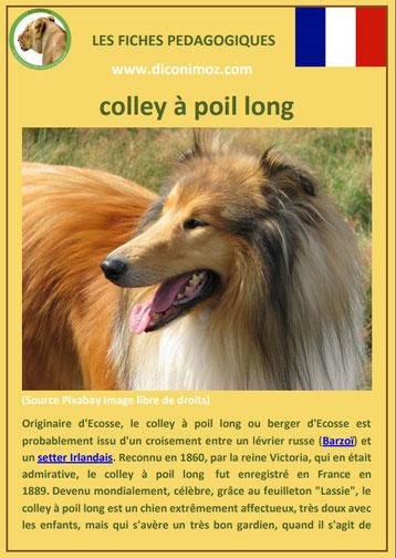fiche chien pdf colley a poil long origine caractere comportement poil