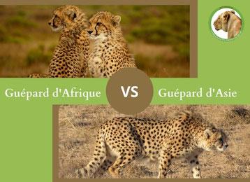 ne confondez plus le guepard d'afrique et le guepard d'asie