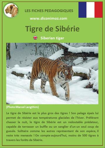 fiche animaux pdf felins tigre de siberie a telecharger et a imprimer