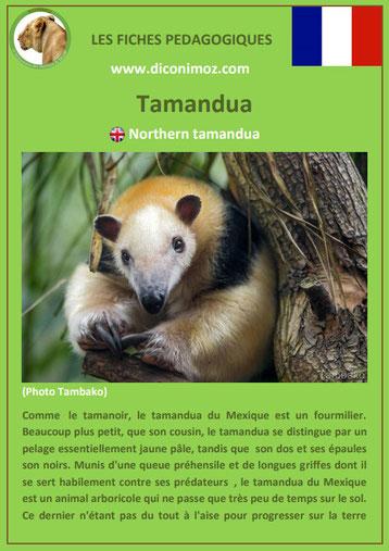fiches animaux d'amazonie pdf tamandua du mexique comportement taille poids habitat reproduction alimentation