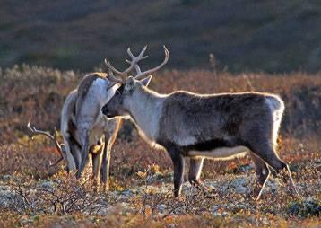 fiche animaux caribou reindeer fact