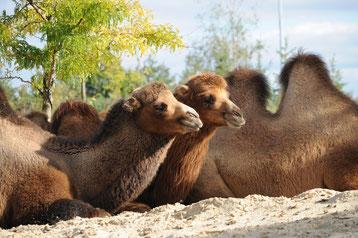 cri animaux chameau