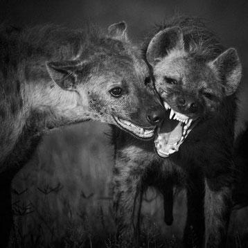 hyenes tachetees laurent baheux