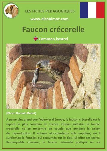 fiche animaux pdf oiseaux rapaces faucon crecerelle a télécharger et a imprimer