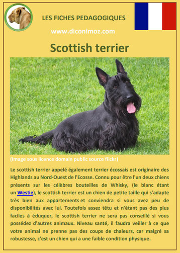 fiche chien pdf race scottish terrier comportement origine caractere soin poil