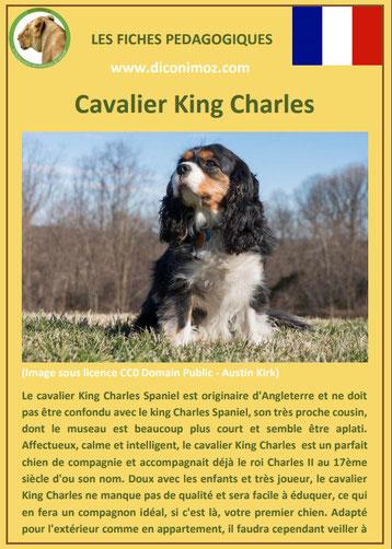 fiche identite chien race cavalier king charles origine caractere comportement poil sante