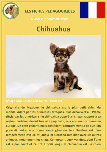 fiche chien race chihuahua origine comportement caractere