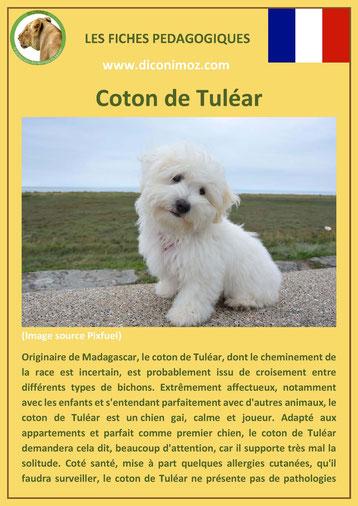 fiche chien pdf race coton de tulear comportement origine caractere soin poil
