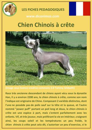 fiche identite chien race chien chinois a crete origine caractere comportement poil sante