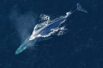 baleine bleue difference baleine a bosse
