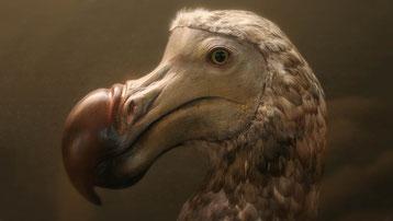 fiche dodo animaux disparus oiseau maurice