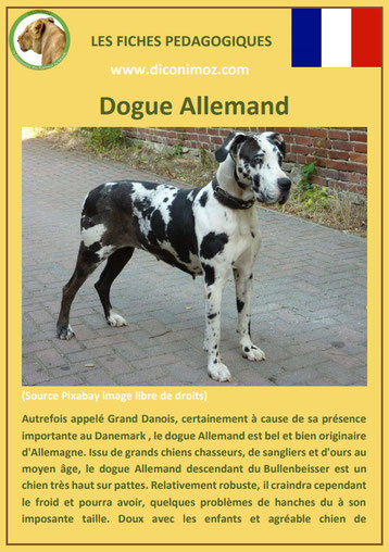 fiche chien pdf dogue allemand caractere origine comportement poil