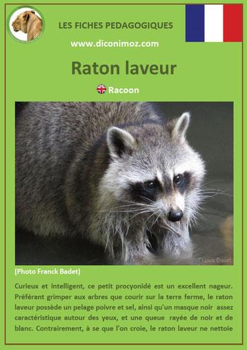 fiche animal animaux canada raton laveur à télécharger et a imprimer