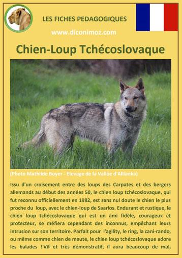 fiche chien race chien loup tchecoslovaque origine comportement caractere