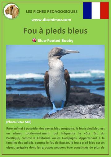 fiche animaux oiseaux pedagogiques fou a pieds bleus a telecharger et a imprimer