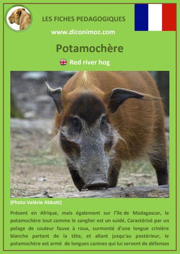 fiche animaux de madagascar pdf pedagogique potamochere a telecharger et a imprimer