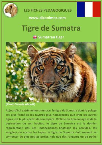 fiche animaux pdf felins tigre de sumatra a telecharger et a imprimer