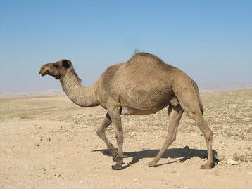 dromadaire vs chameau