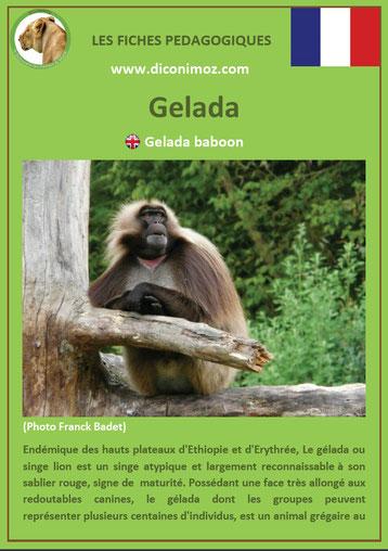 fiche animaux pdf singe gelada a telecharger et a imprimer