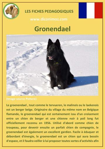 fiche race chien pdf berger belge gronendael comportement origine caractere poil sante