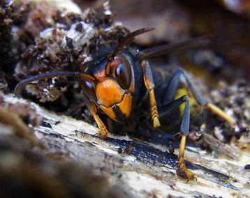 frelon asiatique fiche insectes