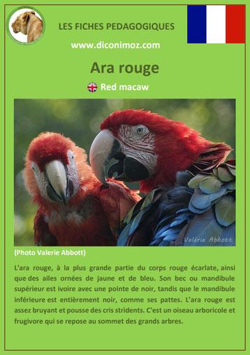 fiches animaux d'amazonie pdf ara rouge comportement taille poids habitat reproduction alimentation