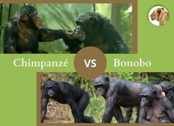 ne confondez plus le chimpanze et le bonobo