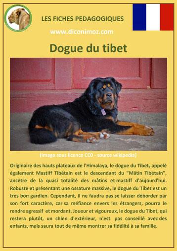 fiche chien race dogue du tibet caractere origine comportement poil sante