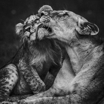 Lionne lionceaux laurent baheux noir et blanc