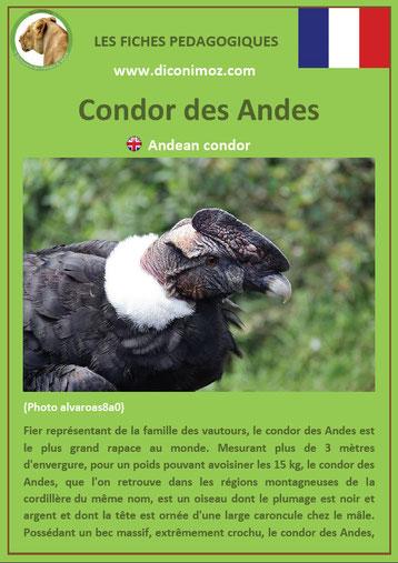 fiche animaux pdf oiseaux rapaces condor des andes a télécharger et a imprimer