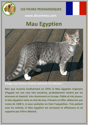 fiche chat race mau egyptien origine comportement caractere poil sante