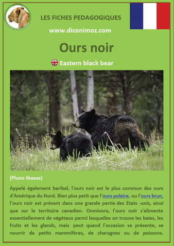 fiche animaux pdf ours noir ursides