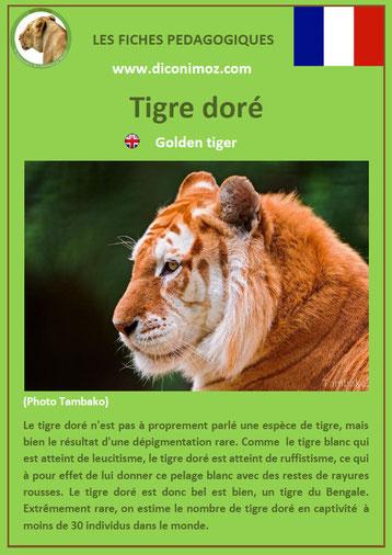 fiche animaux pdf felins tigre dore a telecharger et a imprimer