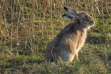 lievre contre lapin de garenne