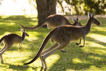 fiche animaux kangourou contre wallaby