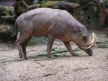 fiche animaux babiroussa contre phacochere