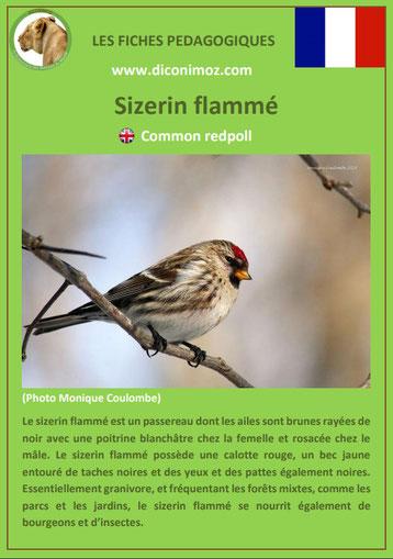 fiche animaux pdf sizerin flamme comportement taille poids habitat longevite alimentation
