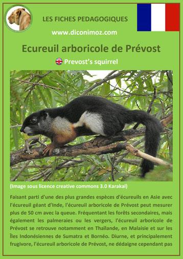 fiche animaux ecureuil arboricole de prevost taille poids habitat longevite repartition comportement