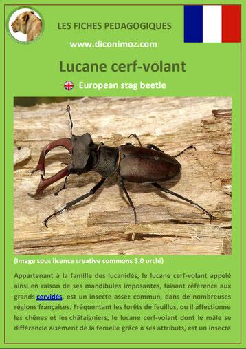 fiche animaux pdf insecte lucane cerf volant à telecharger et a imprimer
