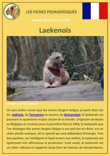 fiche chien pdf race berger belge laekenois comportement origine caractere soin poil