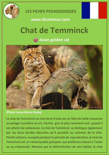 fiches animaux pdf pedgogique felins chat de temminck a telecharger