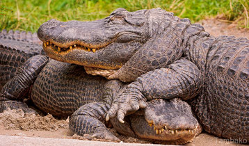 alligator contre crocodile confondre