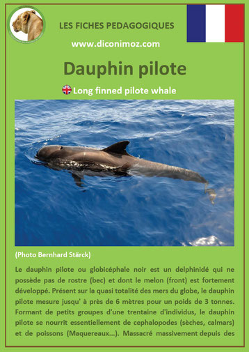 fiche animaux pdf dauphin pilote mammiferes marin a telecharger et a imprimer