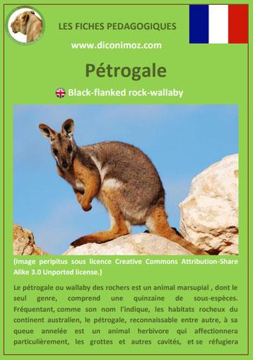 fiche animaux pdf australie petrogale wallaby des rochers a telecharger et a imprimer