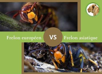 ne confondez plus le frelon europeen et le frelon asiatique